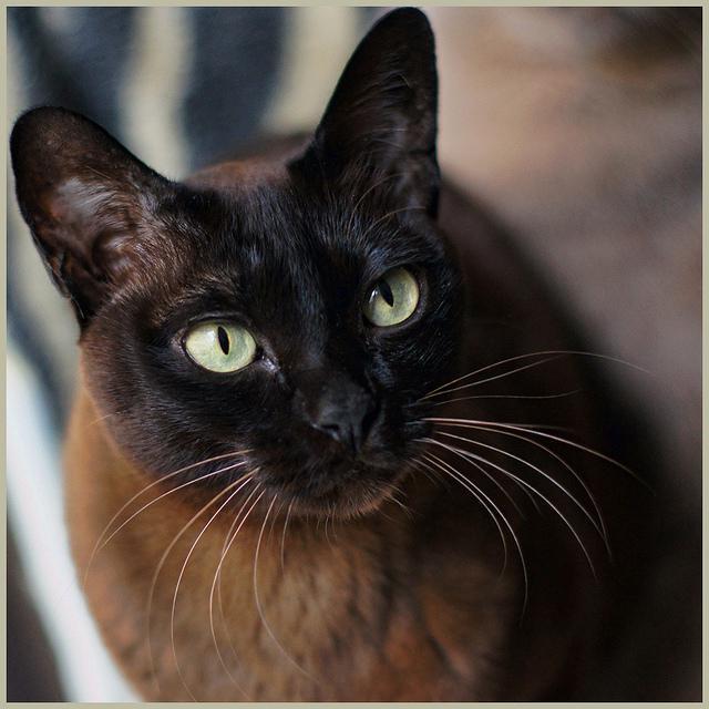 Бурманська порода кішки: характер і фото