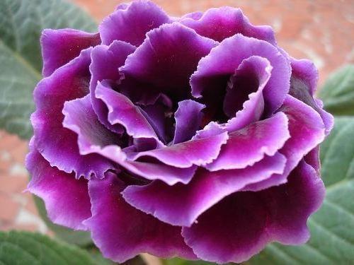 Квітка з дитинства - глоксинія: посадка і догляд