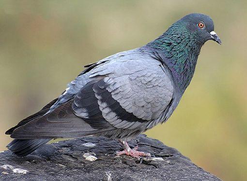 Як відучити голубів сідає на підвіконня