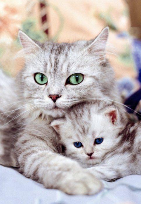 як зрозуміти завагітніла кішка британська чи ні