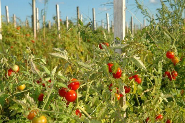 Найбільш ранні сорти томатів для відкритого грунту