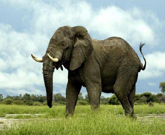 Скільки важить слон? Майже стільки, скільки 4 носорога або 18 зебр