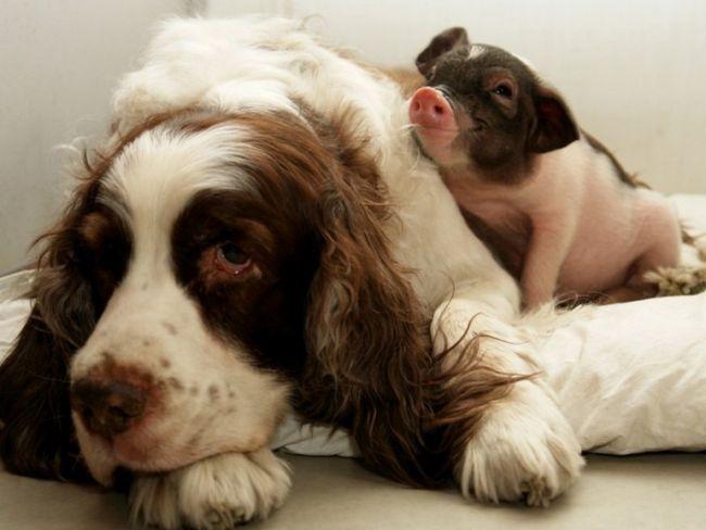 Східний гороскоп сумісності: свиня і собака