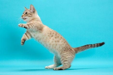 загальні характеристики кішок породи Манчкин