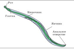 Характеристика аскариди людської