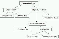 Схема нервової системи