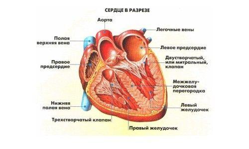 Узі серця у дорослих і дітей: розшифровка